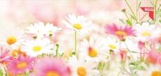 Glückwunschkarte Gänseblümchen